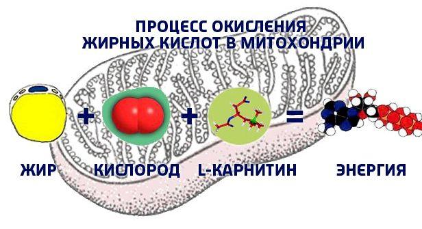 mehanizm-szhiganija-zhira-v-organizme-cheloveka_1.jpg